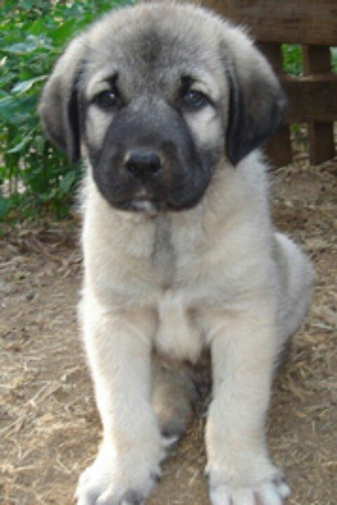Pin On Anatolian Shepherd