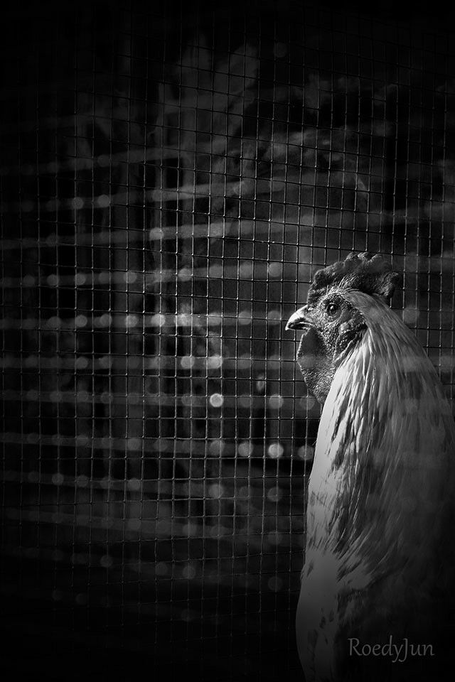 my neighbor Rooster in his cage