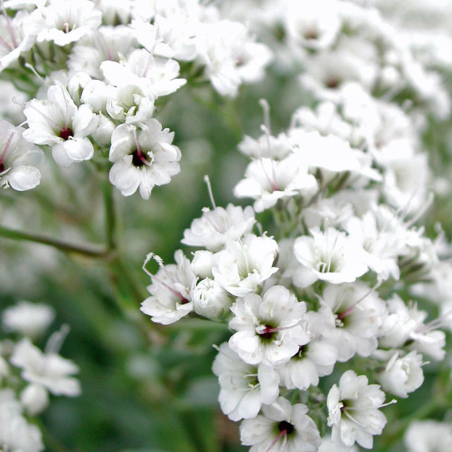 Gypsophila double snowflake plants id like to have pinterest flowers babysbreath babysbreath seeds flowers seeds by izmirmasajfo Images
