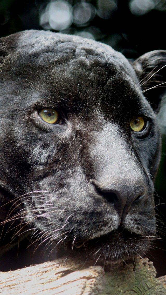 Black Jaguar Portrait iPhone 5 wallpapers, backgrounds