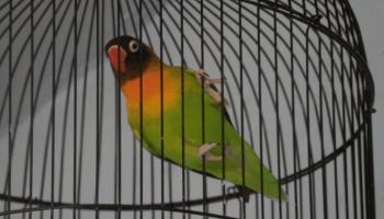 40+  Gambar Burung Lovebird Gestang HD Terbaru Free