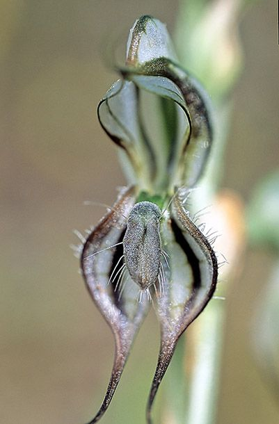 Pterostylis excelsa