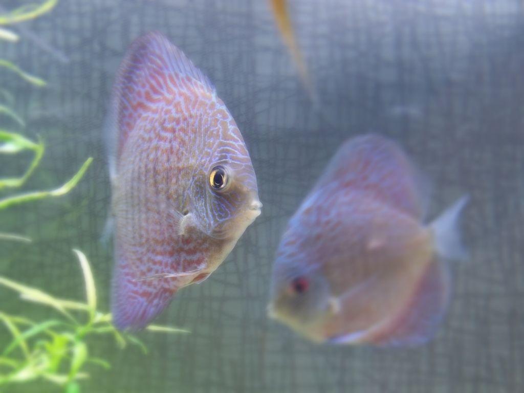 Freshwater juvenile fish - My Juvenile Snakeskin Discus Discus Fish