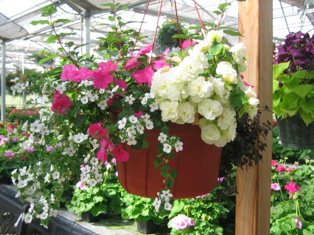Shade Basket With Bacopa Fuchsia Begonia And Impatiens Hanging Baskets Bacopa Plant Begonia