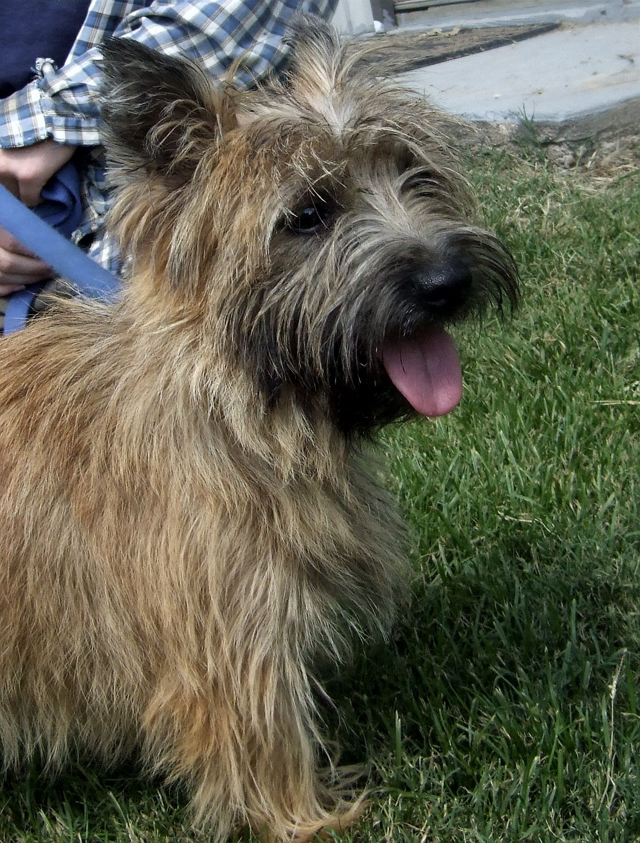 Good Job Girl Terrier Cairn Terrier Breeders