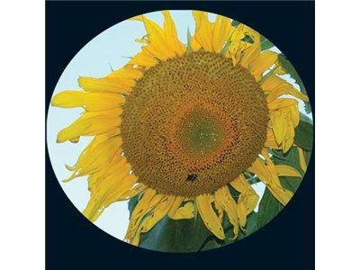 Mammoth Grey Sunflower Baker Creek Heirloom Seed Co Flower Seeds Heirloom Seeds Sunflower Flower