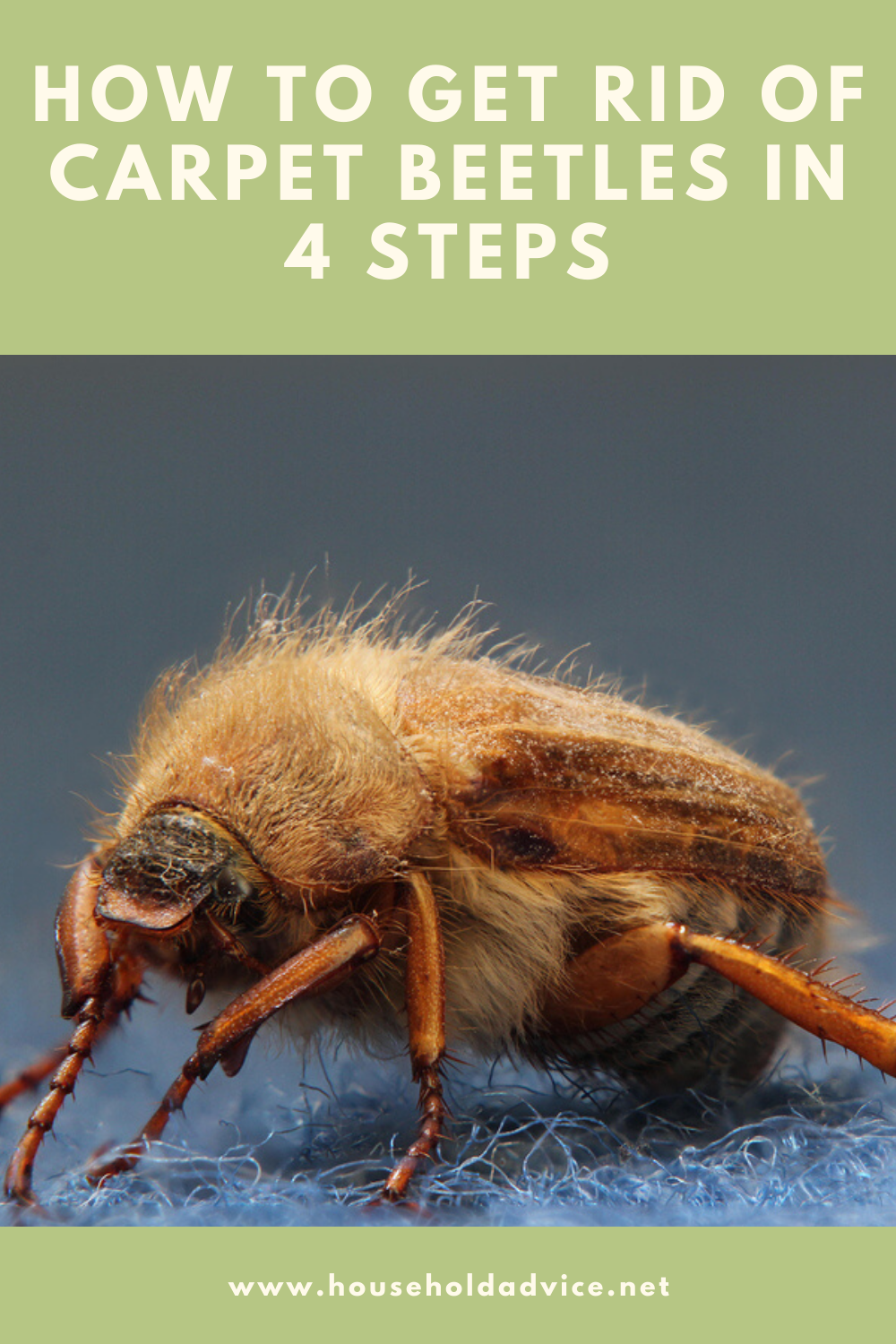 How To Get Rid Of Carpet Beetles Naturally On Your Own Carpet Beetle Spray Carpet Bugs Beetle
