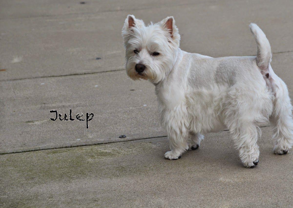 Westie Julep Good Length Westie Terrier Westies West Highland Terrier