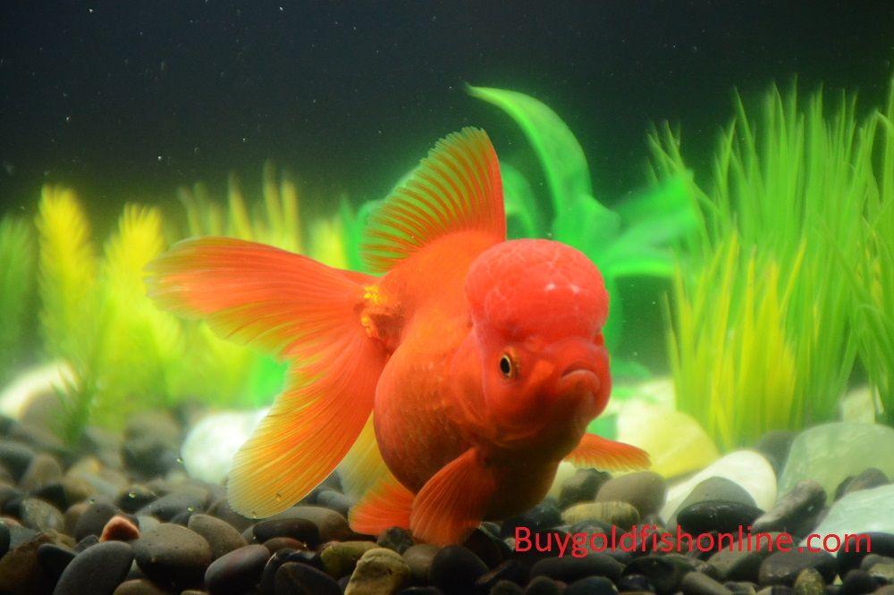 Red Oranda Goldfish Buygoldfishonline Com Goldfish Buy Goldfish Oranda Goldfish