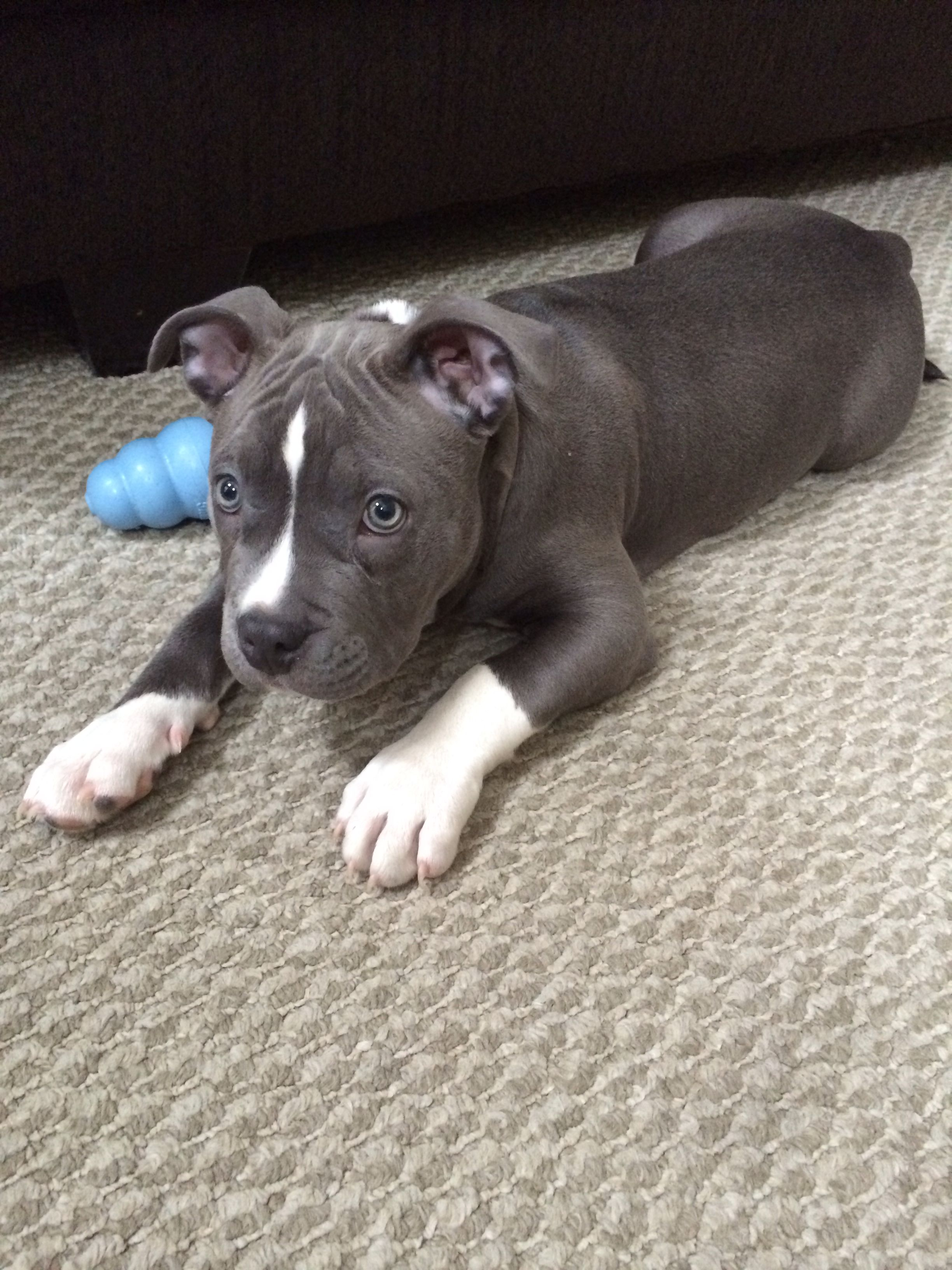Cute Bluenose Pitbull Pitbulls Pitbull Terrier Puppies And Kitties