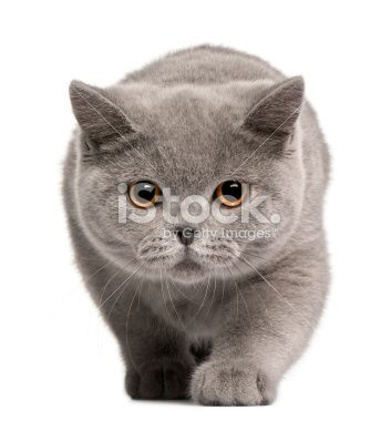Front View Of British Shorthair Kitten Walking White Background British Shorthair Kittens American Shorthair Cat Cats And Kittens