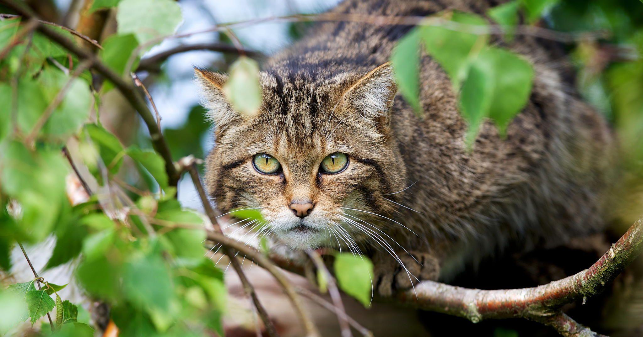 Photograph Scottish Wildcat by Mark Bridger on 500px