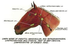 Diagram of the lymph nodes in a horses head good overall website diagram of the lymph nodes in a horses head good overall website as well ccuart Choice Image