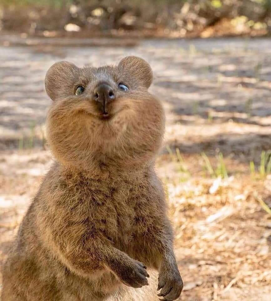 Happy Quokka Music Indieartist Chicago Schattige Dieren Schattigste Dieren Wilde Dieren