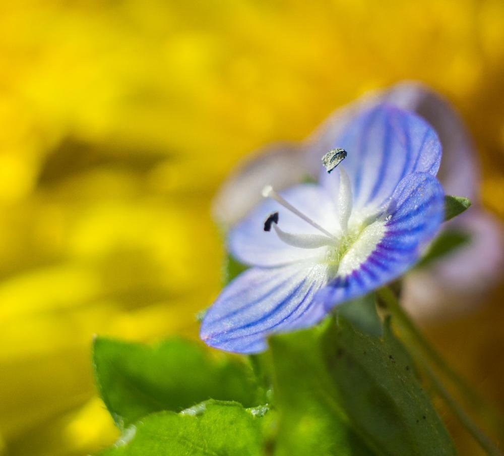 Macro Of A Tiny Blue Flower By Naturegirl Photography Pinterest