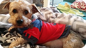 Memphis Tn Maltese Yorkie Yorkshire Terrier Mix Meet Sully A