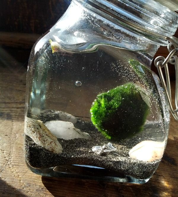 Marimo Moss Ball Water Terrarium Diy 5 Orange Potatoes Marimo