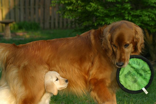 Golden Retrievers Play Keep Away Dogs Golden Retriever Golden