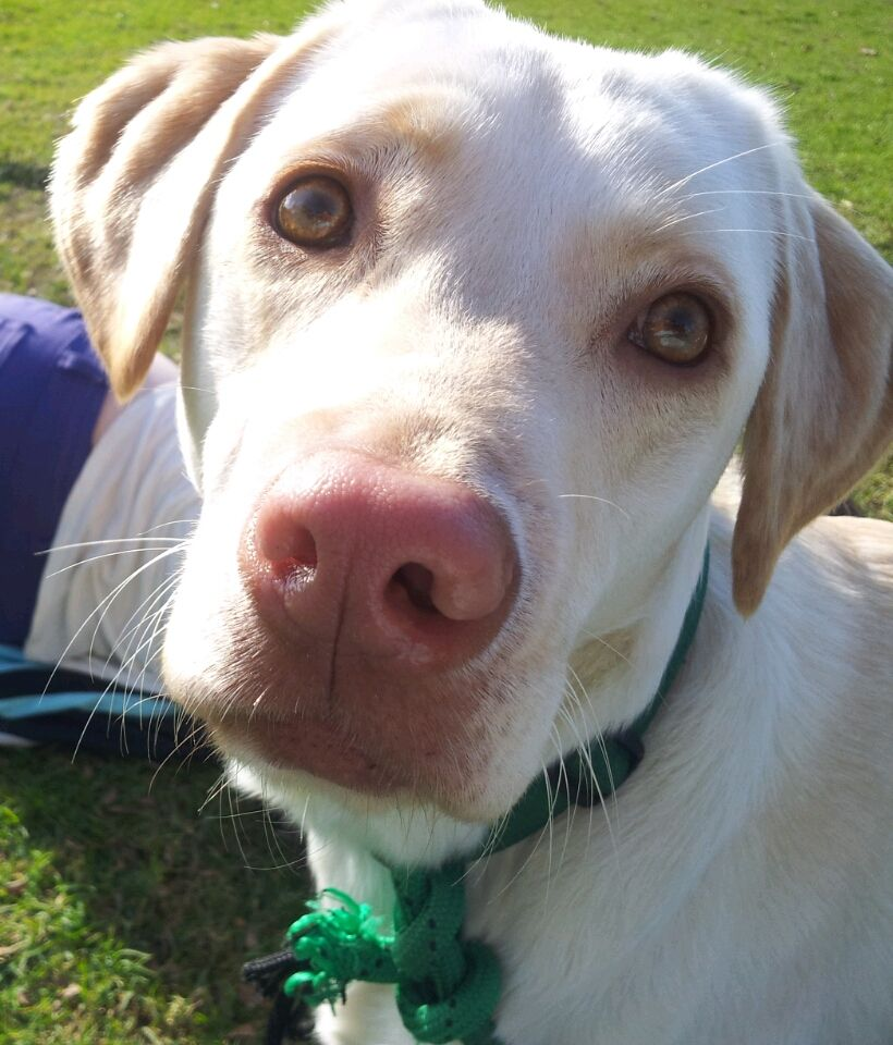 Buy Yellow Lab Puppies Pink Nose For Sale In Delaware USA