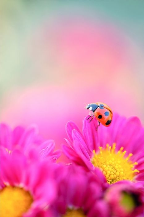 [little ladybug on pink daisies]