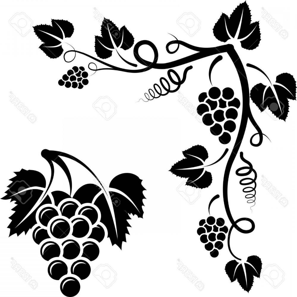 Grape Vine Vector Art Cultracing Vector Art Fruit Vector Grape Vines