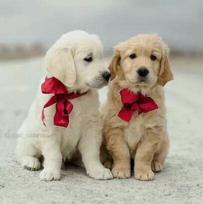 Golden Retriever Noble Loyal Companions Labradorvalpar Sota Djur