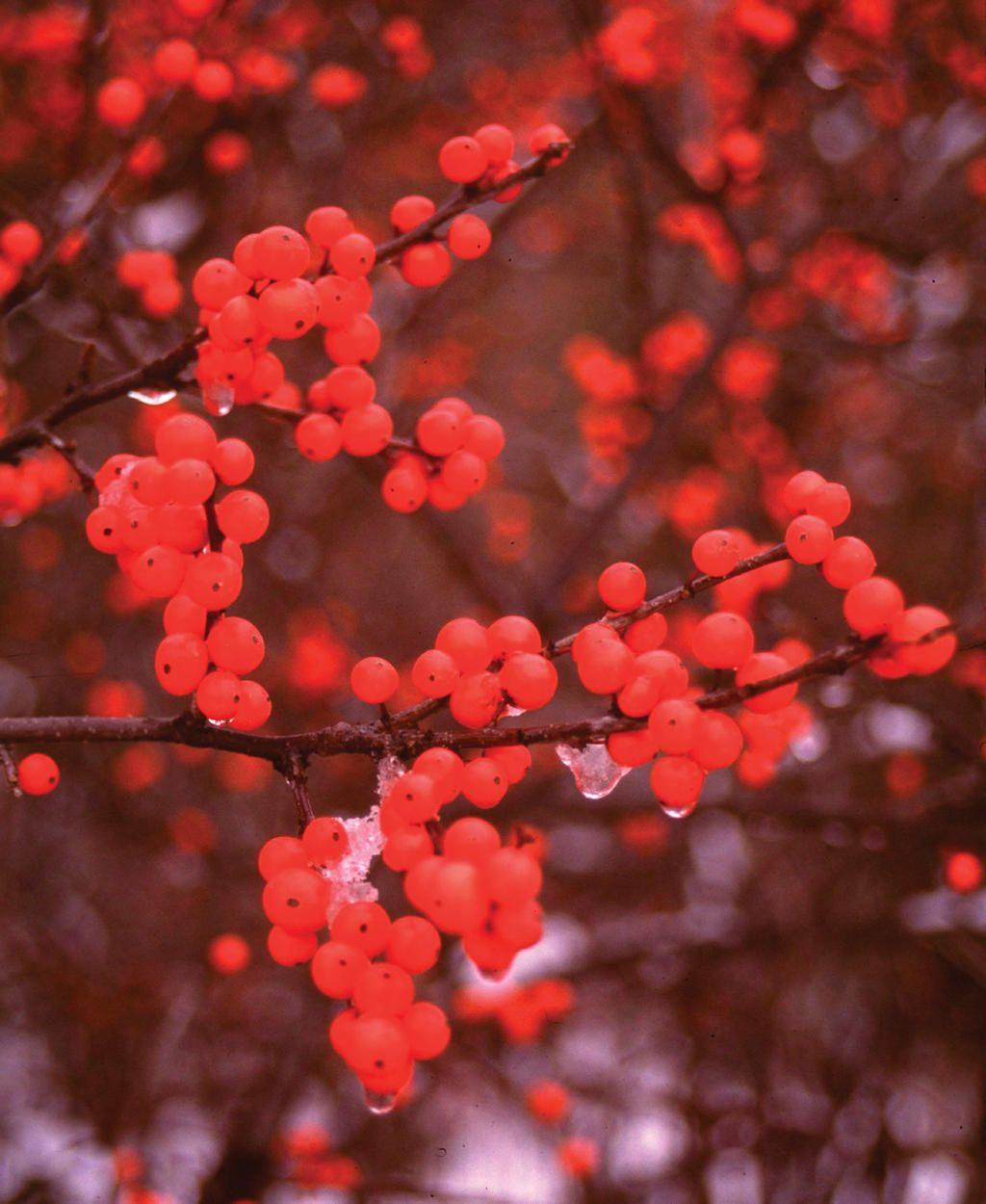 Berry heavy winterberry holly ilex verticillata proven
