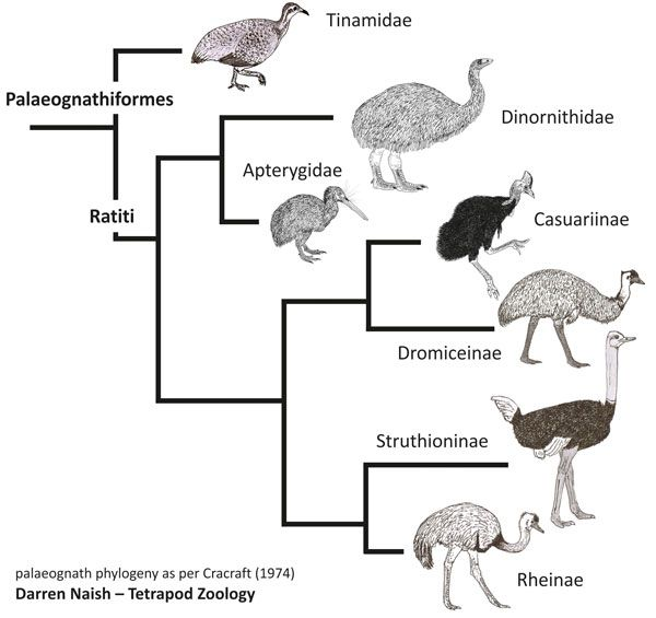 Ratite Cladogram Cracraft 1974 600 Px Tiny Mar 2014 Darren Naish