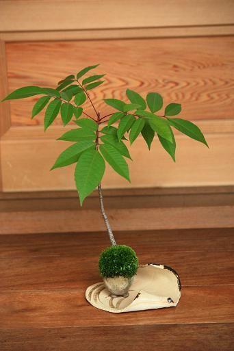KUSAMONO - Qual a importância disso para o bonsai?