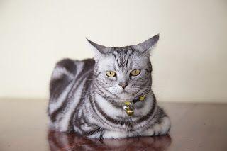 Cara merawat kucing american bobtail