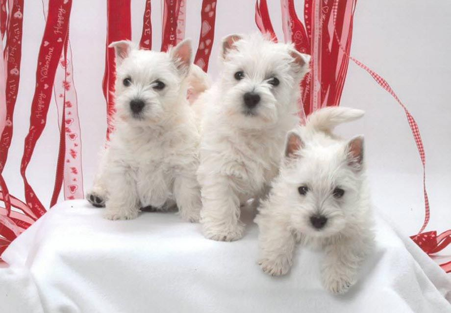West Highland White Terrier Puppies For Sale Near Louisville Ky