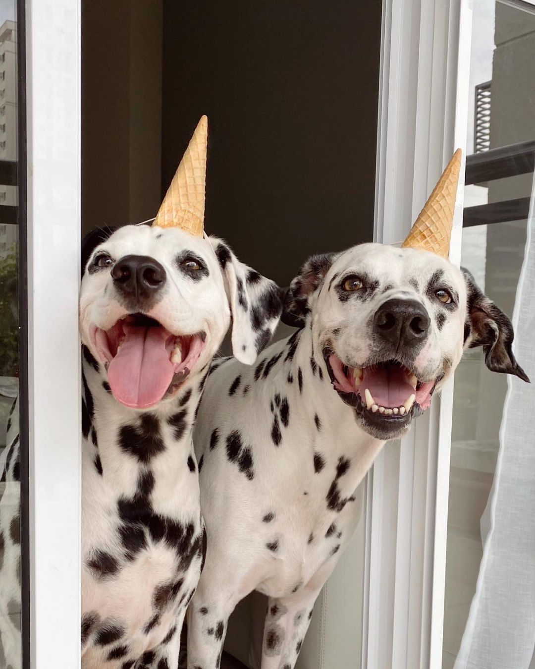 credit: @pingoeninadalmatians... #dog #dogsofinstagram #dogs #puppy #dogstagram #instadog #pet #doglover #love #dogoftheday #cute #doglovers #instagram #pets #of #puppylove #doggo #puppies #cat #doglife #puppiesofinstagram #ilovemydog #dogsofinsta #animals #hund #doggy #petstagram #k #animal