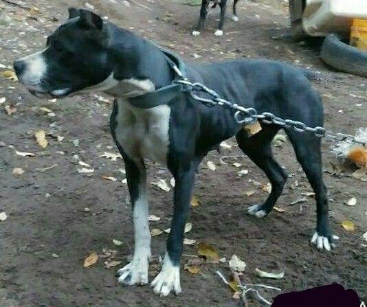Bandog De Presa Borinkano Presa Canario Rottweiler X Fila