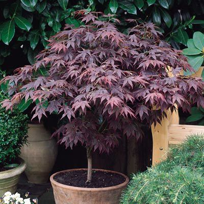 Acer Palmatum Atropurpureum. Does well in sun, but I would consider shade in the afternooon here in the south.. these are pretty tough guys.