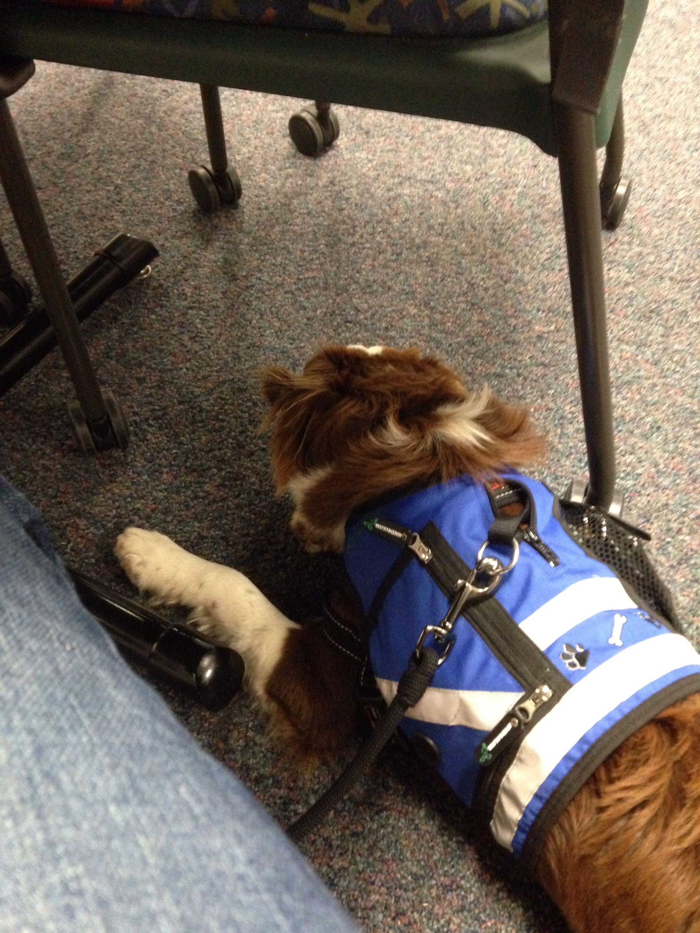 Hard at Work • EDS & POTS Service Dog • Cardiac Alert • He