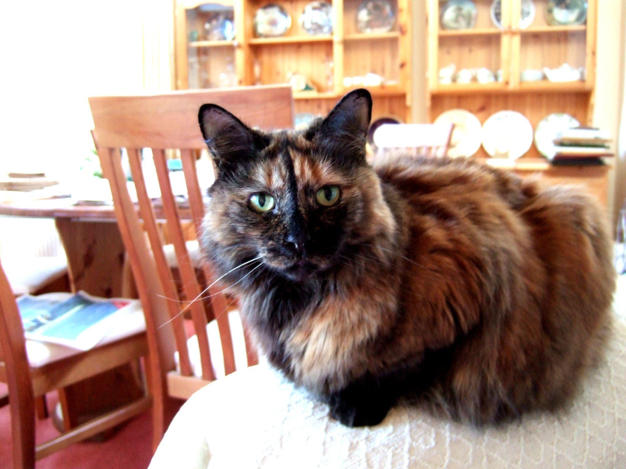 Tortoiseshell cat Tortoise shell cat, Cat wallpaper, Cat