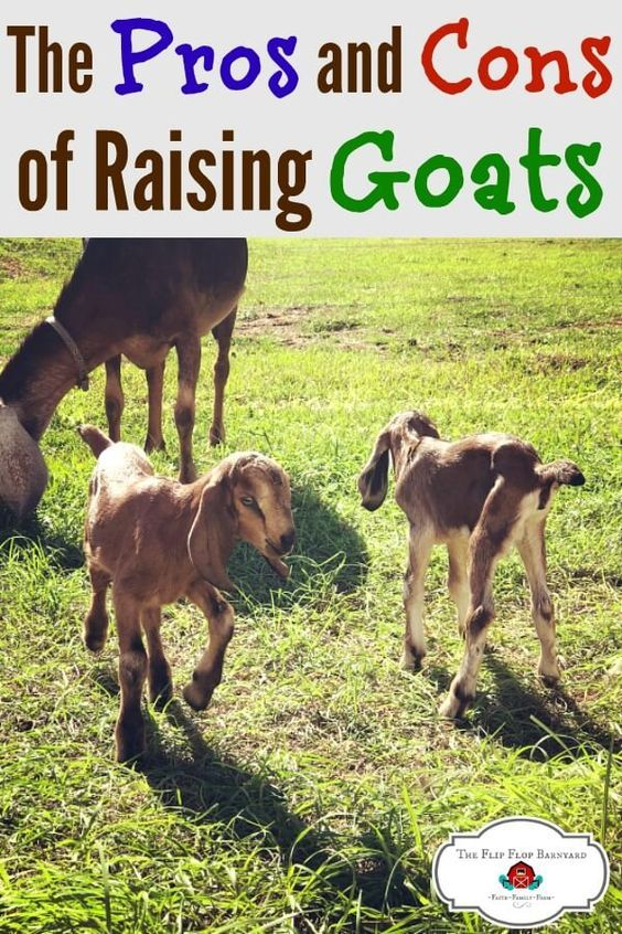 The Pros and Cons of Raising Goats | Raising goats, Goat ...