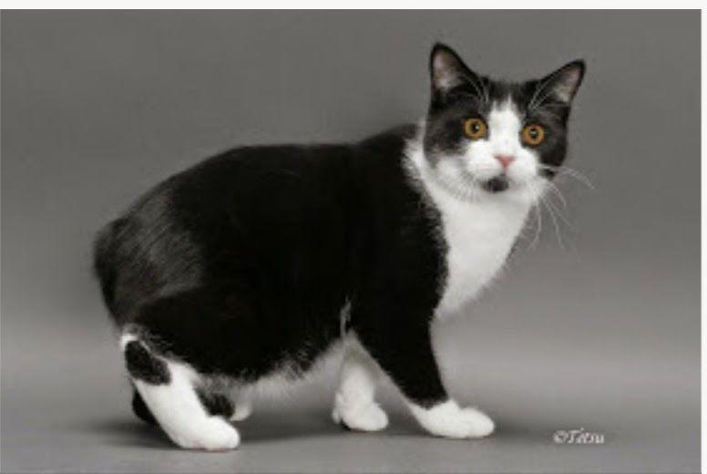 Gambar Kucing Ekor Pendek Sampai Rumah Cepat Buka Air Cond Muka Kucing Ini Makin Hari Makin 100 Jenis Kucing Di Seluruh Dunia Kucing Manx Kucing Kucing Lucu