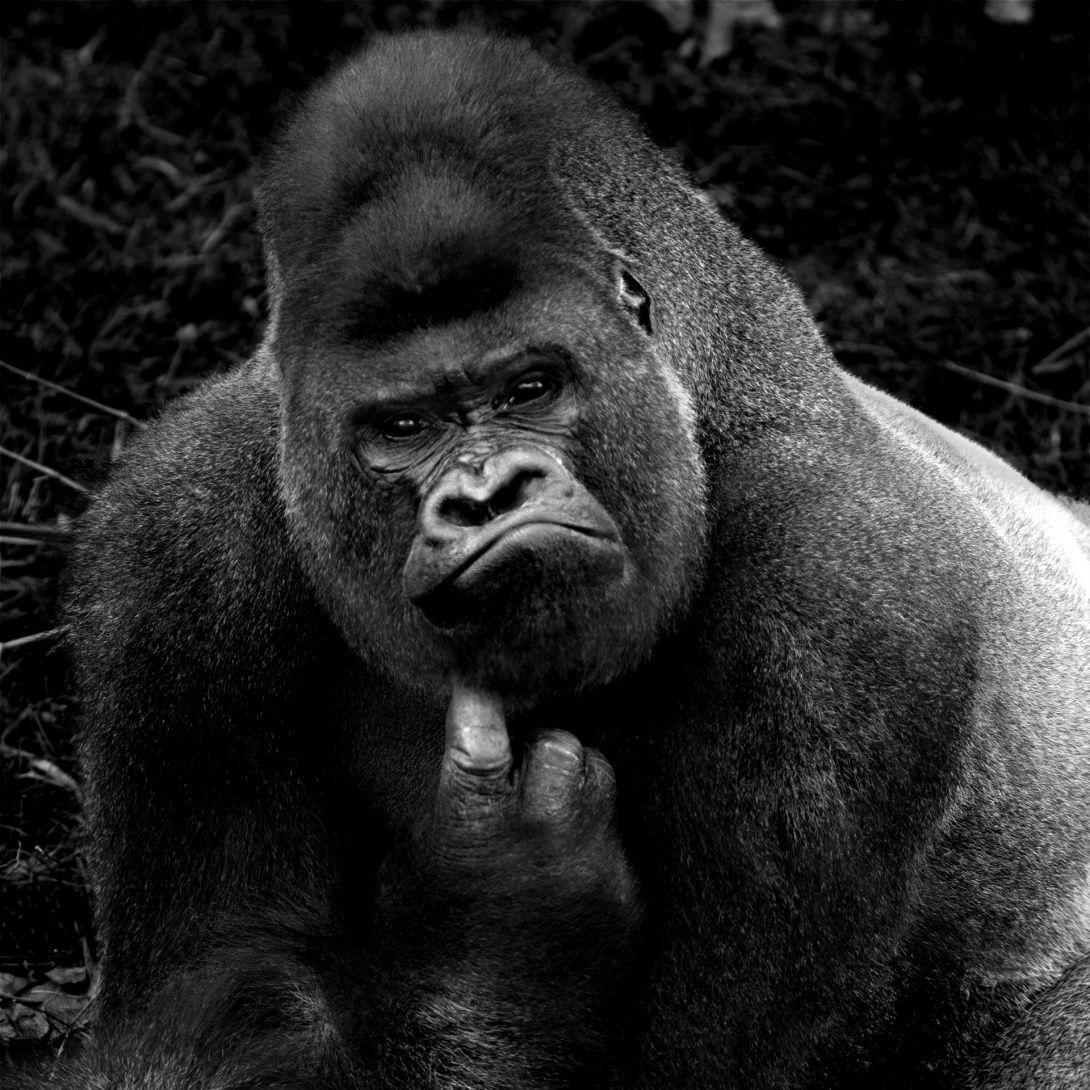 Serie Primates, 2014. Zoo de Madrid, España   Isabel Munoz   Animaux  sauvages, Gorille, Photo animaux