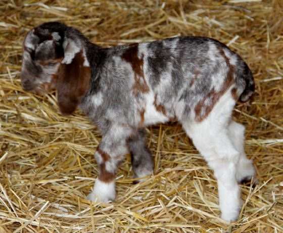 Dappled Spotted Boers for sale in PA, RI, SC, SD, TN, TX, UT, VT, VA