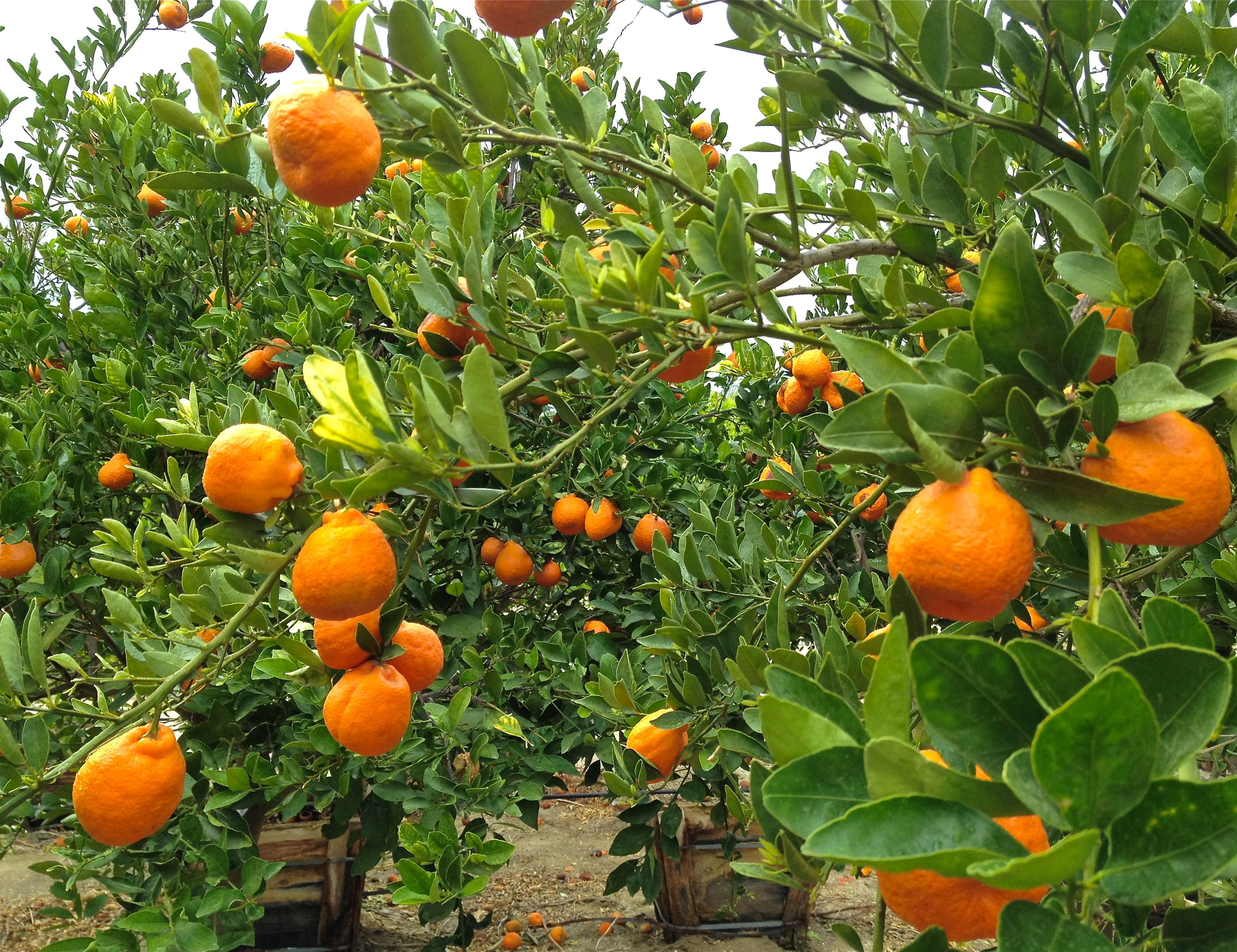 Pin By Cindy On Cindyc Citrusize Tangerine Tree Fruit Trees Dream Garden