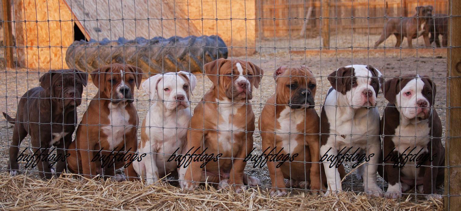 Puppy Page Puppies Bulldog Puppies Bulldog