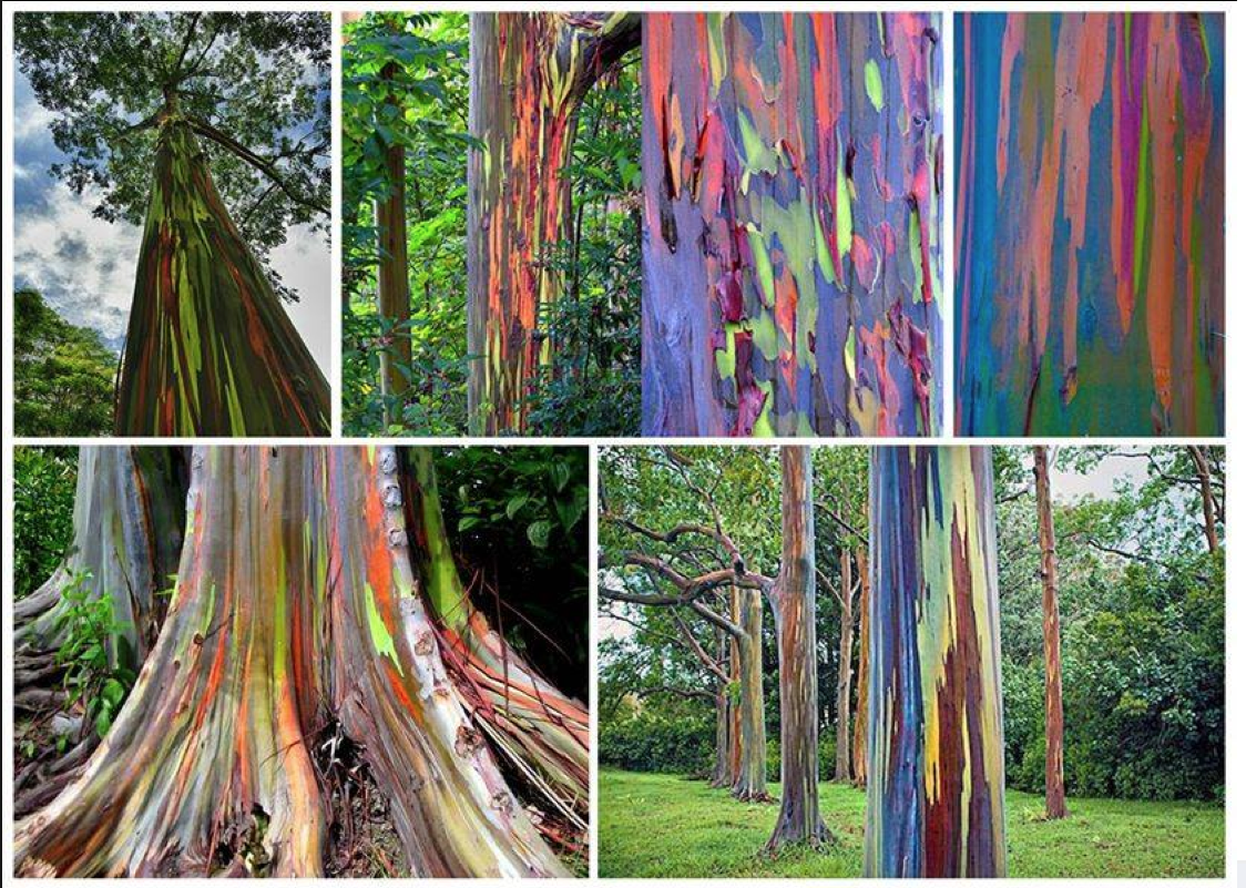 The beautiful Rainbow Eucalyptus - remarkably, this tree\'s coloring ...