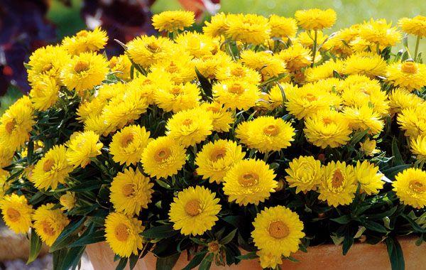 Strohblume-Totally-Yellow.jpg (600×380)
