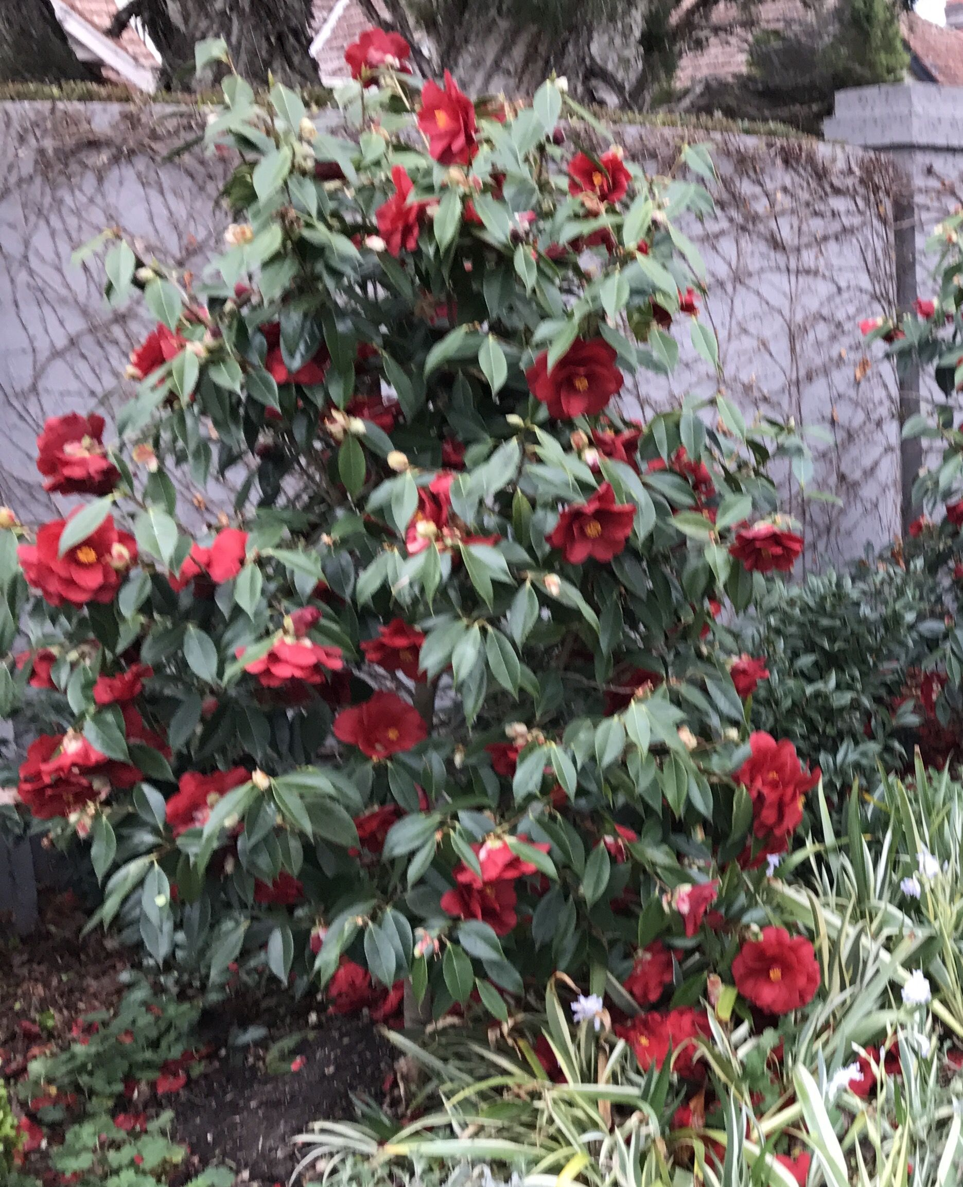 Camellia Japonica Royal Velvet Vigorous Upright Growth To 3M, Large