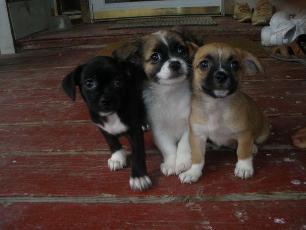Baby Shitzu Chihuahua Mixes Cute Little Dogs Baby Puppies