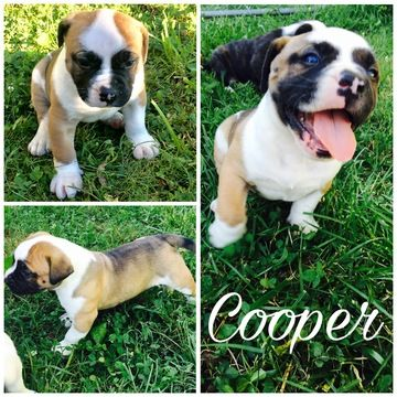 Litter Of 3 American Bulldog Puppies For Sale In Pleasant View Tn