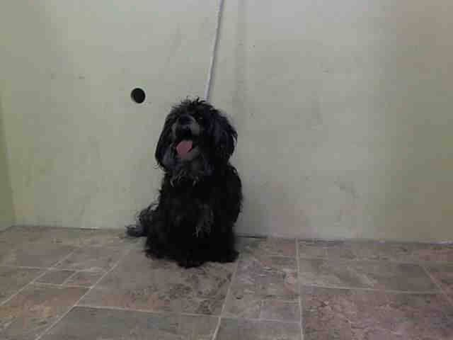 """SAFE+++ Manhattan Center   CHRISSY - A0974521 *** RETURNED ON 11/25/14 - """"OWNER EVICTED"""" ***  SPAYED FEMALE, BLACK, YORKSHIRE TERR / MALTESE, 5 yrs OWNER SUR - EVALUATE, HOLD FOR EVICTION Reason OWN EVICT  Intake condition UNSPECIFIE Intake Date 11/25/2014, From NY 10460, DueOut Date 11/28/2014,  CAME IN WITH SUNNY - A0974522 https://www.facebook.com/photo.php?fbid=911919715487575"""