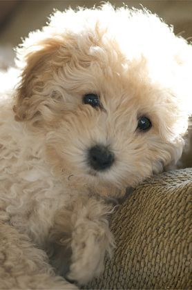 Puppies Bichon Poodle Poodle Mix Dogs Cute Animals Poodle Puppy
