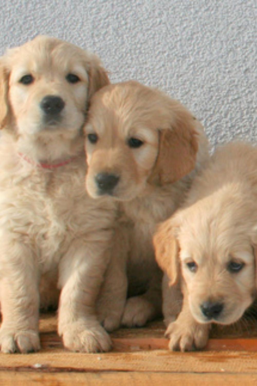 Cute Golden Retriever Puppy Golden Retreiver Puppy In 2020 Retriever Puppy Puppy Dog Images Golden Retriever